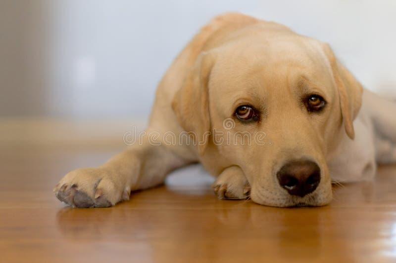 Sleepy dog. On a wooden floor