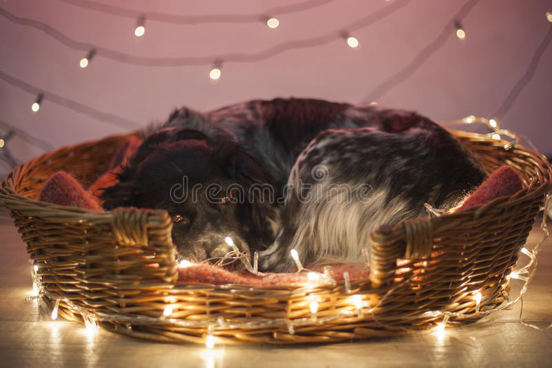 Sleepy dog in a basket with Christmas lights stock images