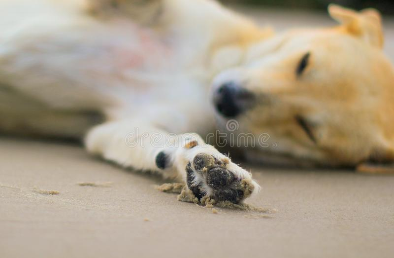 Sleepy dog in the beach sand. This photograph was taken in Matinhos, Paraná, Brazil. February 16, 2018 stock image