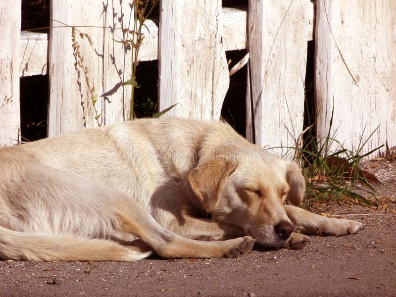 Sleepy dog. Cute dog. Nice mood. Positive vibe. Really relaxing picture. Cute sleepy dog. Summertime. Good positive vibe. Light colored dog on the background of stock images
