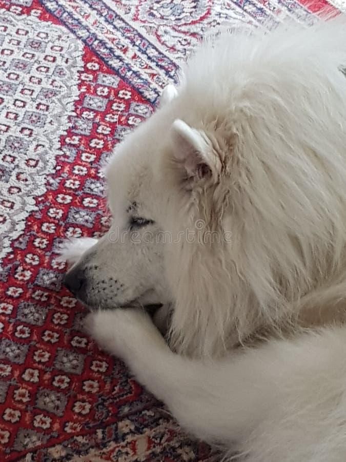Sleepy dog japanese spitz stock images