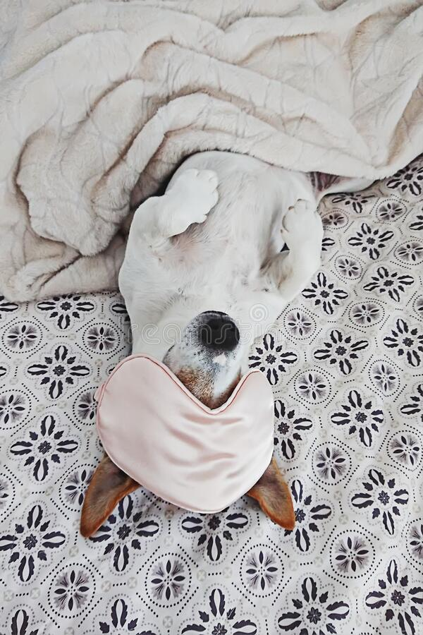 Free Sleepy Dog Lies In Blanket With Eyemask On Bed Stock Photography - 184213982