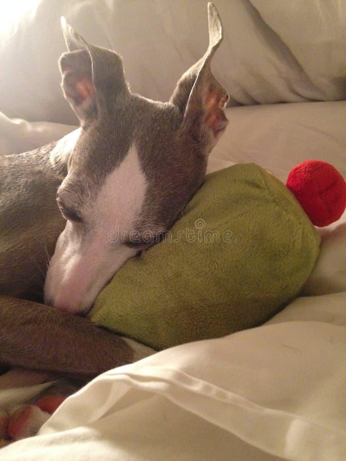 SLEEPY DOG WITH TOY royalty free stock image