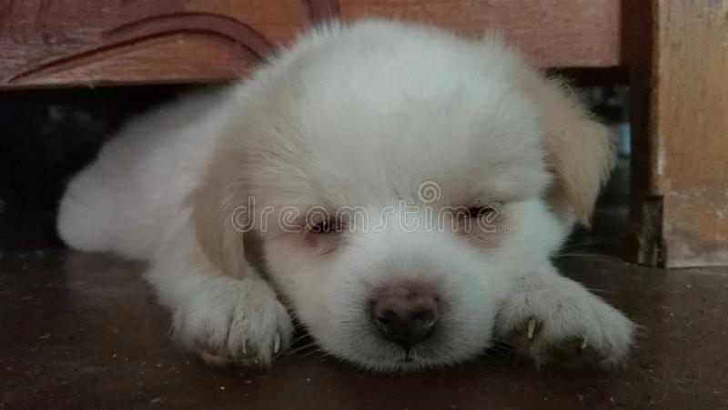 Sleepy Eyed Pup royalty free stock photography