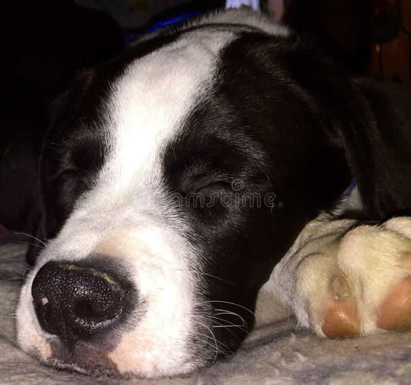 Sleepy. Flash the border collie and boxer mix sleeping stock photo