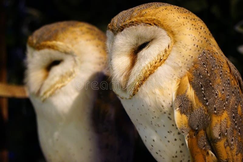 Sleepy Fluffy Barn Owl. Cute pair of barn owls with beautiful plumage dozing off royalty free stock photos