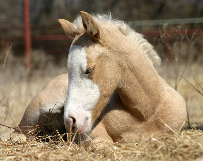 Sleepy Foal. Palomino foal laying in straw, winter sunshine, red pipe fence in background stock photos