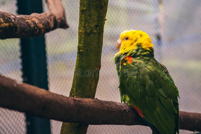 Sleepy green and yellow parrot resting on top of a tree branch i. N an aviary royalty free stock images