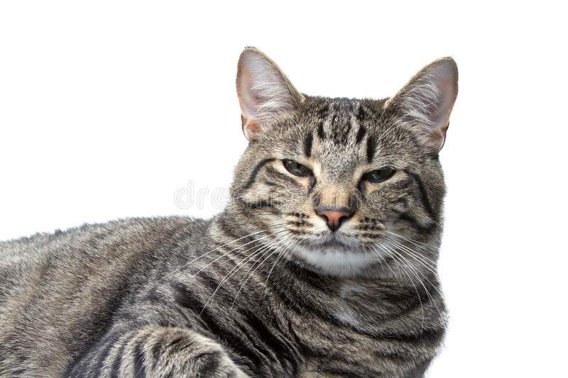 Sleepy House Cat Isolated on a White Background royalty free stock images