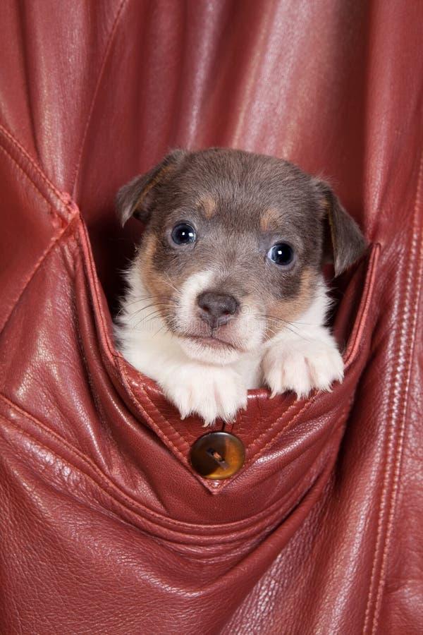 Download Sleepy jack russel stock image. Image of dogs, pedigree - 17715559