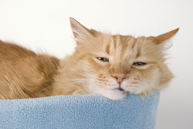 Sleepy Kitty Cat One. Sleepy Kitty in Bed royalty free stock photography