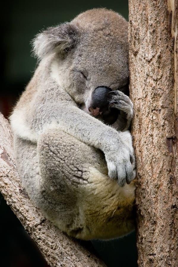 Sleepy koala stock photos