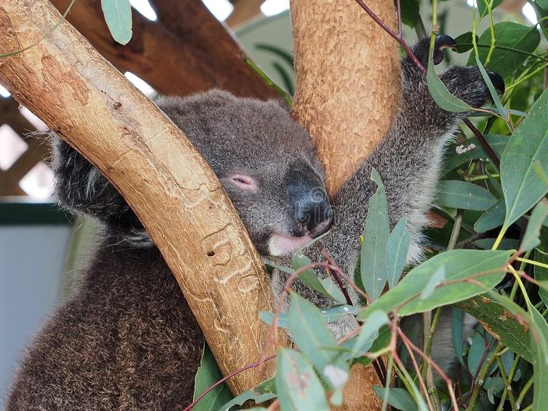 Sleepy Koala. Gorgeous Precious Sleepy Koala with a Happy Pleasant Disposition stock photos