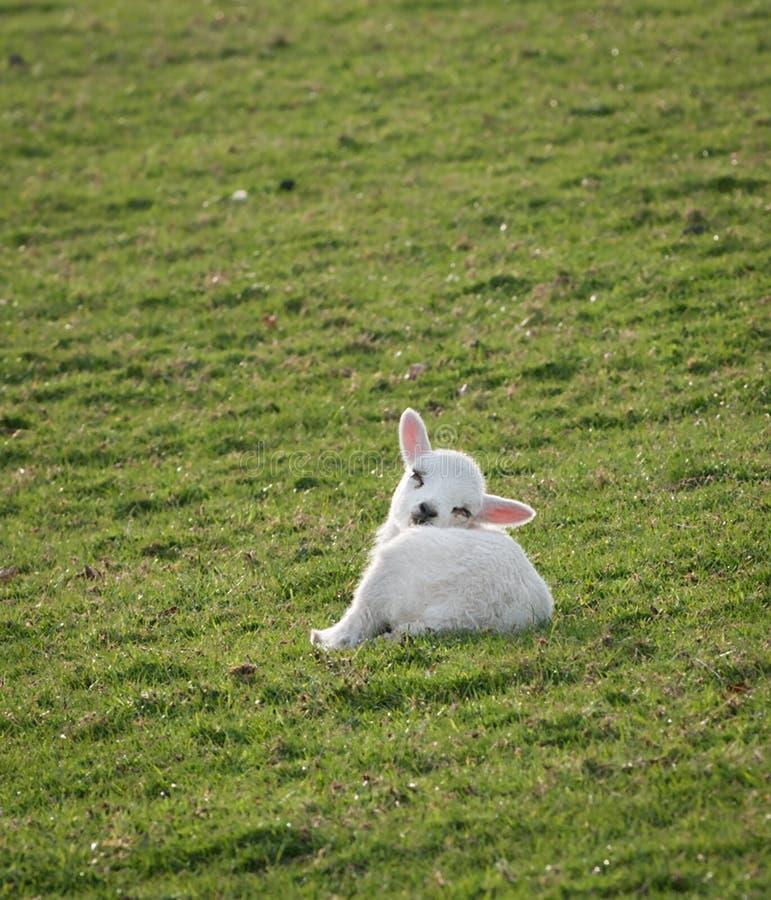 Download Sleepy Lamb (Ovis Aries) Royalty Free Stock Image - Image: 14384946
