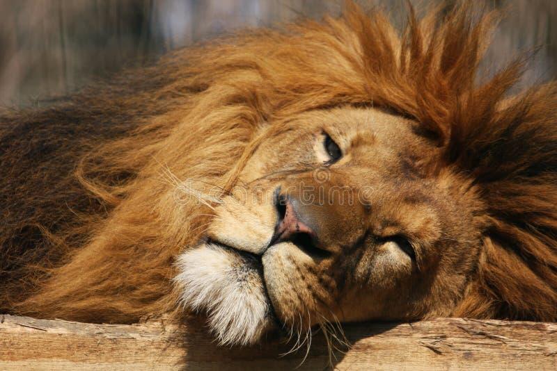 Sleepy lion royalty free stock image