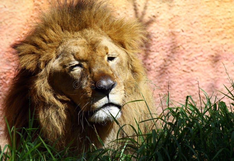 Sleepy Lion Royalty Free Stock Photography