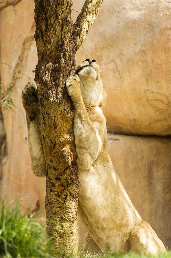 Sleepy lion in safari park royalty free stock photography
