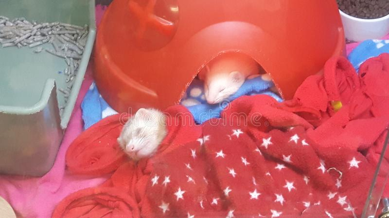 Sleepy little ferrets royalty free stock photo