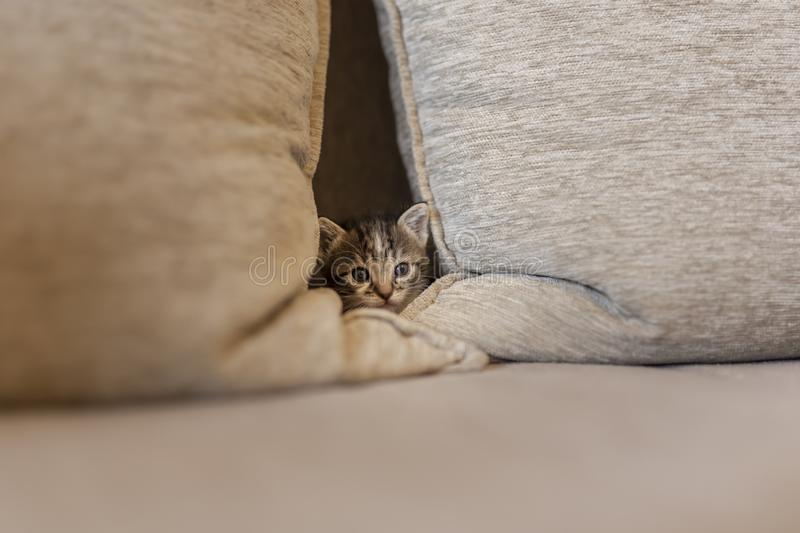 Sleepy kitten peeking from the sofa stock photo
