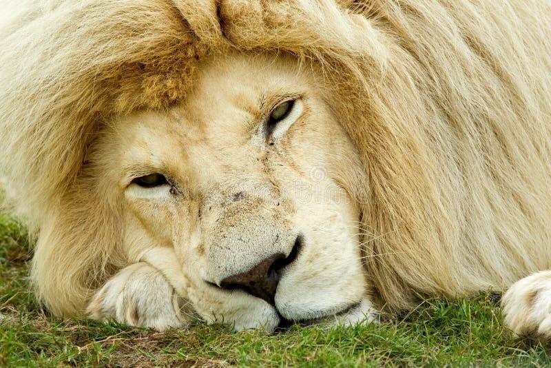 Sleepy looking white lion stock image