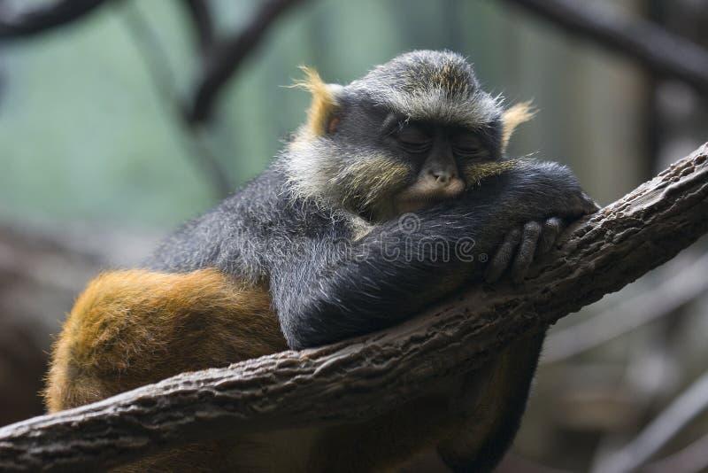 Download Sleepy monkey stock image. Image of tree, animal, monkey - 226747