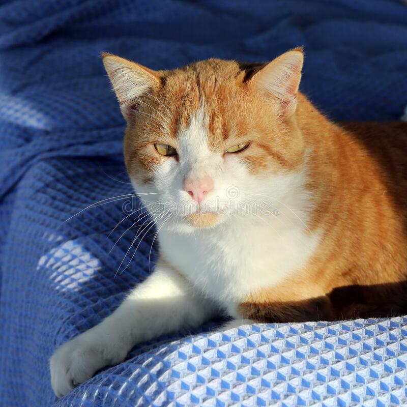 Sleepy orange tabby cat lying in afternoon sunshine on blue couch. Sleepy orange tabby cat lying in afternoon sunshine with one paw outstretched on blue couch stock photography