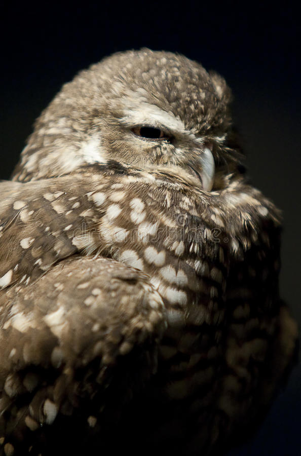 Download Sleepy Owl stock image. Image of beak, animal, yellow - 16237087