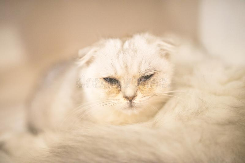 Sleepy Persian cat stock image