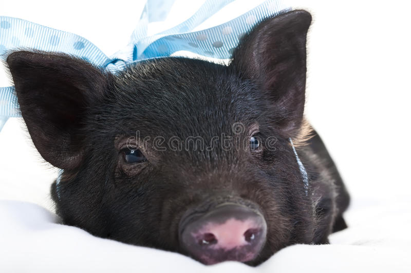 Sleepy pig royalty free stock image