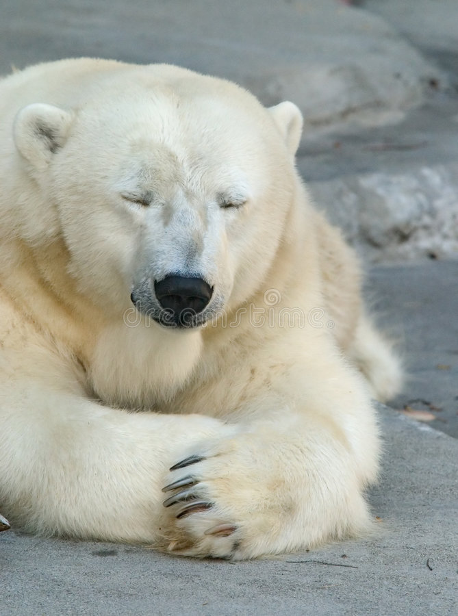 Sleepy Polar Bear. Polar Bear taking an afternoon nap