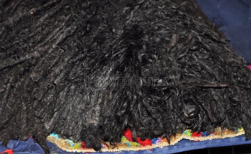 Download Sleepy Puli dog stock photo. Image of hair, care, head - 39513316
