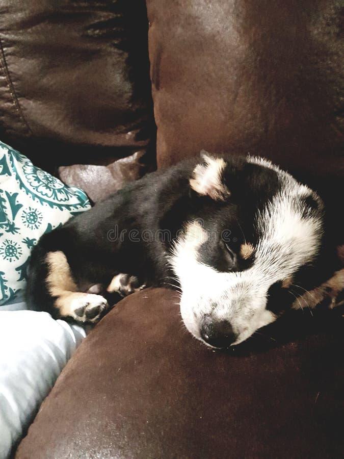 Sleepy pup royalty free stock image