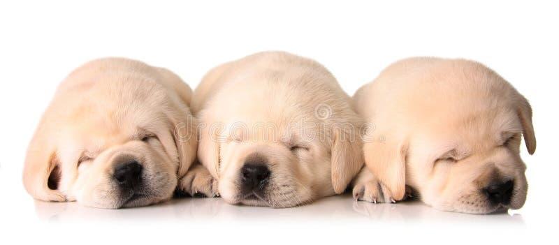 Sleepy puppies stock image