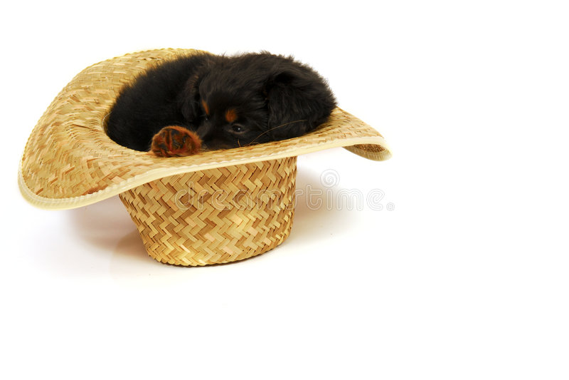 Sleepy Puppy in Cowboy Hat stock image