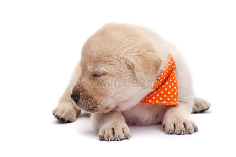 Sleepy puppy dog barely holding its head - lying on white. Adorable sleepy labrador puppy dog barely holding its head above the paws - lying on white with closed royalty free stock images