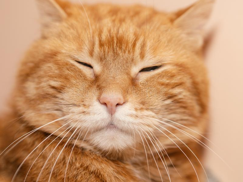 Lovely red cat. Sleepy red cat. Soft focus on eyes royalty free stock image