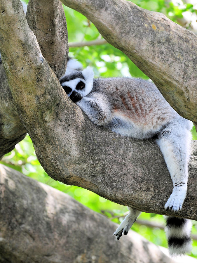 Sleepy Ring-Tailed Lemur stock image