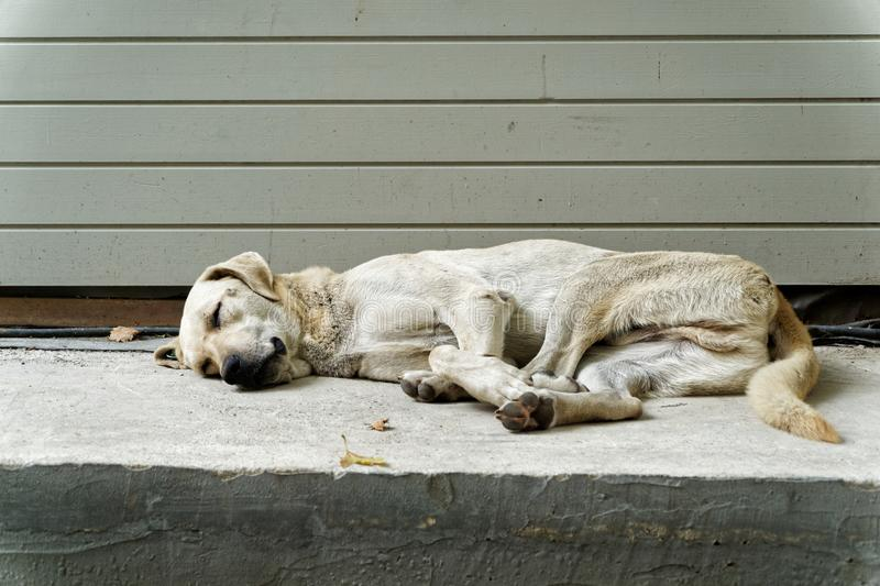 Sleepy Street Dog royalty free stock photo