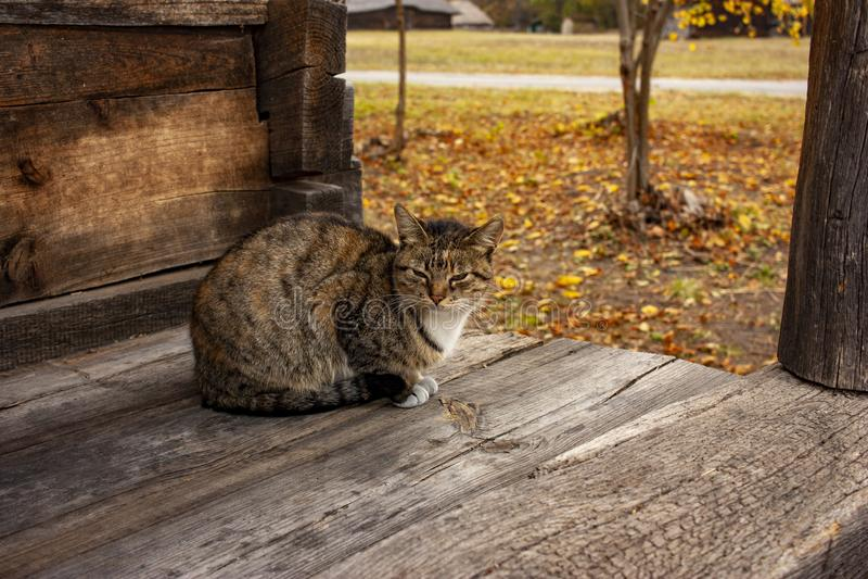 Sleepy tabby cat on a wooden floor, a gray cat sits on a terrace in the fall. Sleepy tabby cat on a wooden floor, brown Cute cat, cat sits, autumn background stock photos