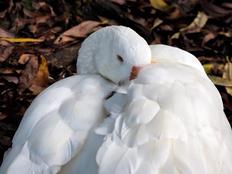 Snuggled Downy Goose. A sleepy white goose snuggled deep inside his downy feathers on a cool October morning