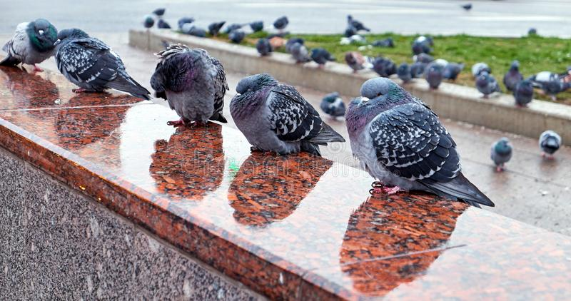 Sleepy wild city pigeons on wet granite of Moscow subway entrance with rainy reflections royalty free stock images