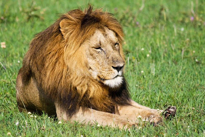 Sleepy Wild Lion royalty free stock images