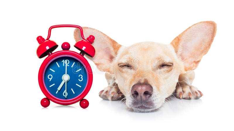 Sleepyhead dog royalty free stock image