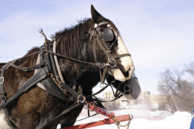 Sleigh Horses royalty free stock photo