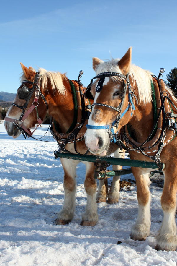 Before sleigh ride. Winter on the lake. Horses before the sleigh ride royalty free stock image