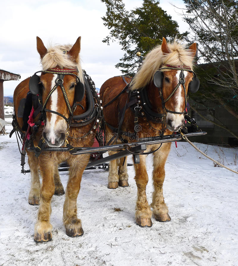 Sleigh Ride. Two beautiful horses, decked out in sleigh bells await the next passengers for a sleigh ride royalty free stock photos