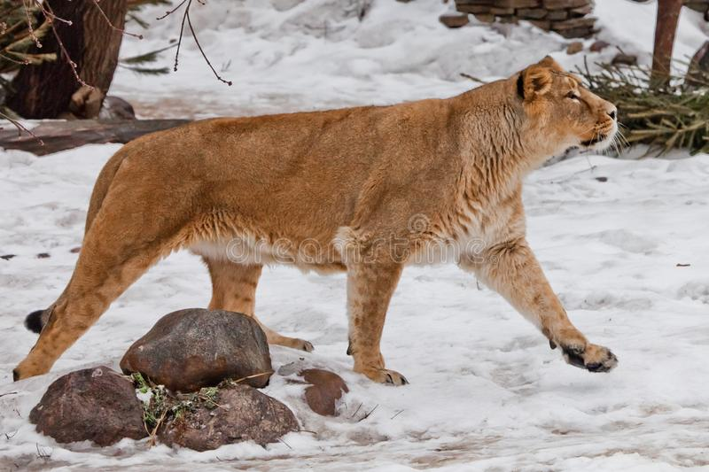 Slender Asian lioness walks in the snow, the white background is red wool stock photos