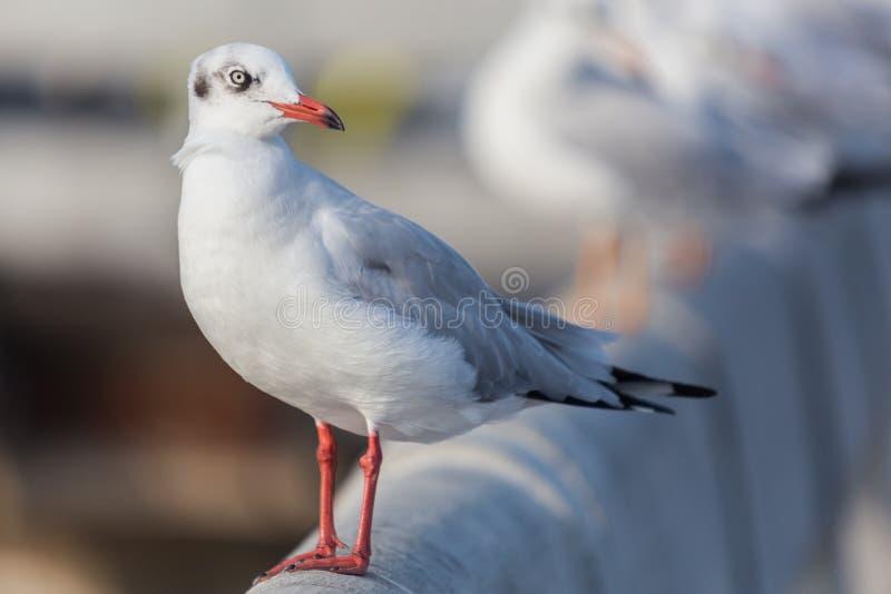 Slender-billed Gull flying stock photo