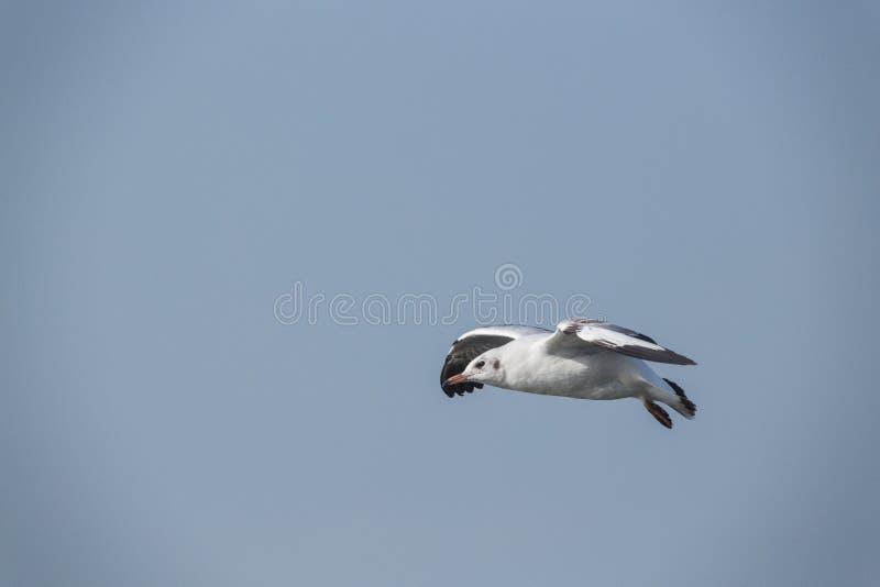 Slender-billed Gull flying royalty free stock photos