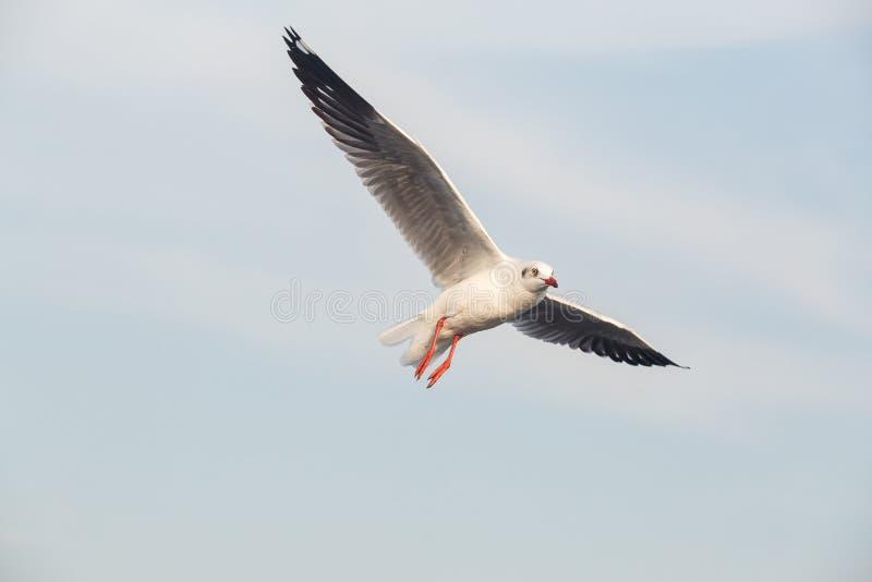 Slender-billed Gull flying stock photos